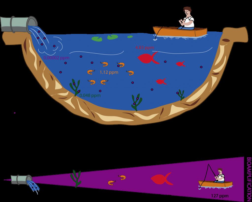 Notions de l'écotoxicologie - Phénomène de bioamplification d'un polluant dans la chaîne alimentaire, dans un milieu aquatique