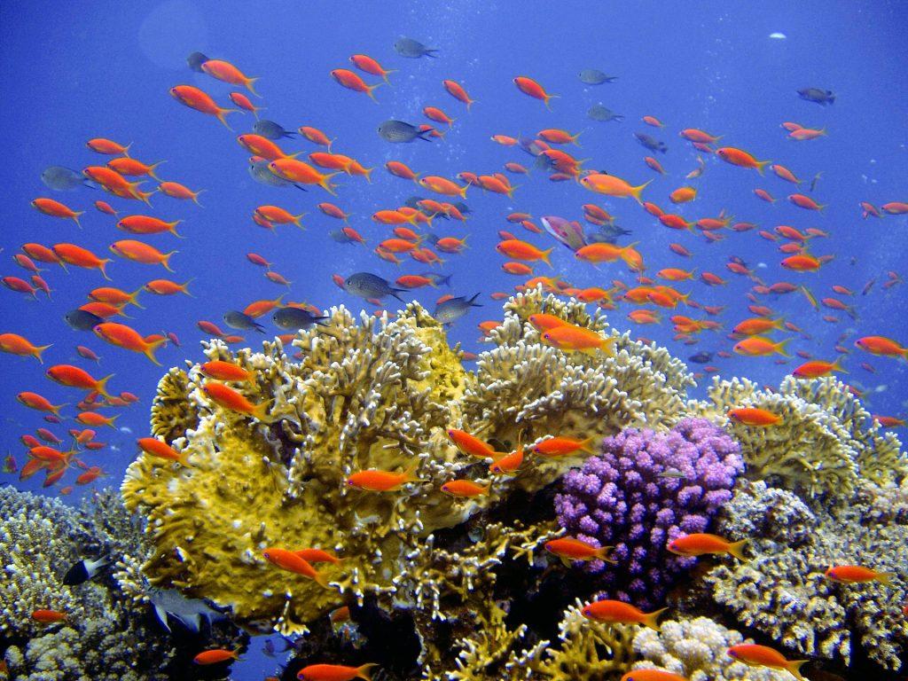 Récifs coralliens, victimes des rejets des usines de dessalement