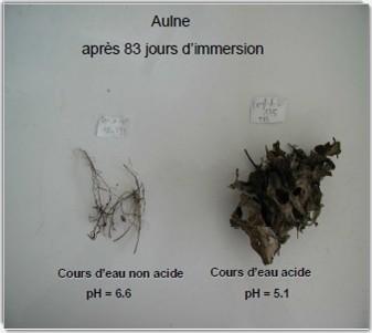 Dans un cours d'eau acide, la dégradation des feuilles mortes est très faible : l'exemple de l'aulne
