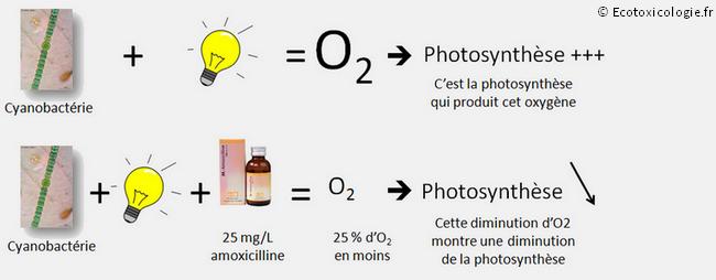 Schéma : Diminution de la teneur en oxygène en présence d'amoxicilline, traduisant une inhibition  de la photosynthèse de la cyanobactérie Synechocystis sp