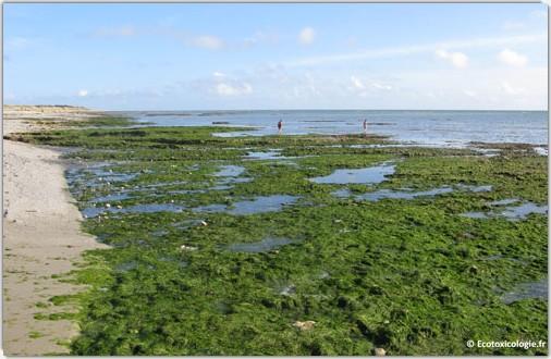 Les marées vertes : conséquence visible de la dystrophisation due aux épandages agricoles