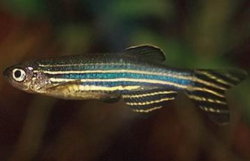 Le poisson zèbre Danio rerio