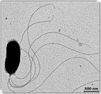 La bactérie marine Vibrio fischeri