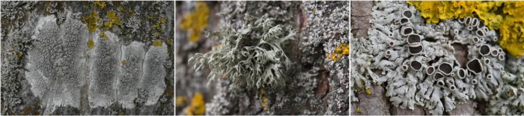 Les lichens comme bioindicateurs