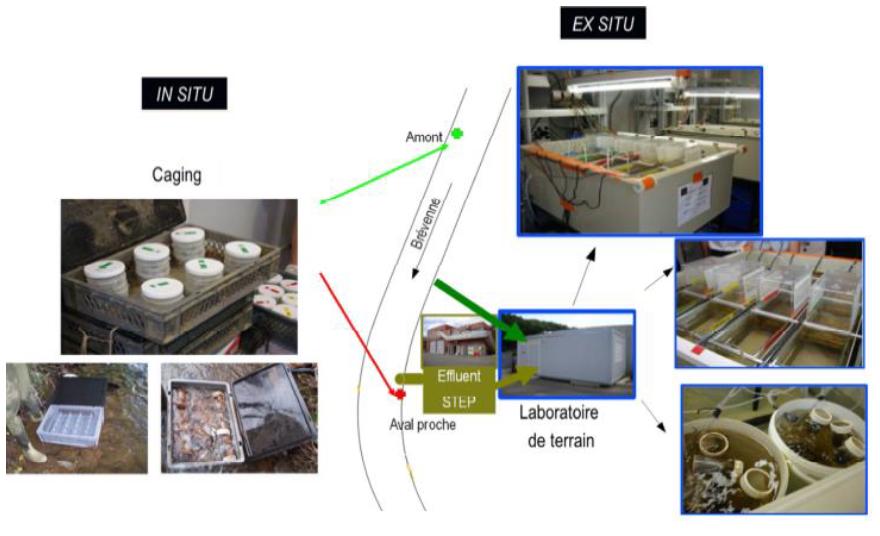 Expérimentations in situ et ex situ sur des effluents de stations d'épuration