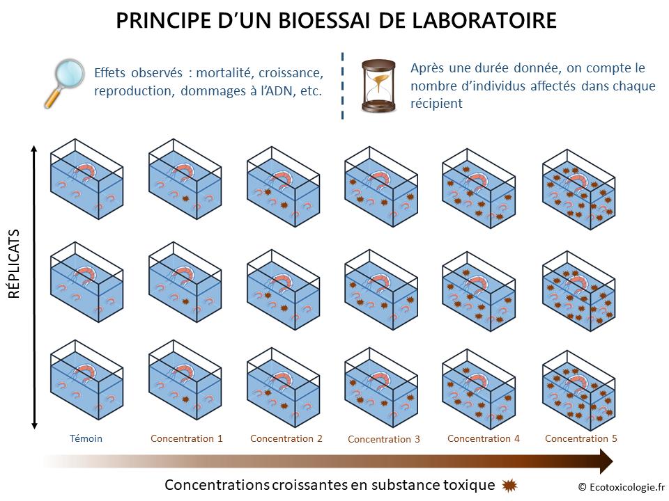 Evaluer l'effet des polluants sur les êtres vivants : principe d'un bioessai de laboratoire